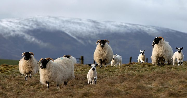 Sheep could be the gardener's unlikely friend, says Dave Allan - HeraldScotland